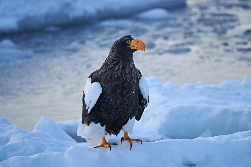 Steller's_Sea_Eagle_2019_On_Ice_Hokkaido_Japan_0085