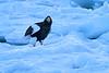 Steller's_Sea_Eagle_2019_On_Ice_Hokkaido_Japan_0102