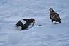 Steller's_Sea_Eagle_2019_On_Ice_Hokkaido_Japan_0090