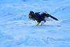 Steller's_Sea_Eagle_2019_On_Ice_Hokkaido_Japan_0101