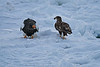 Steller's_Sea_Eagle_2019_On_Ice_Hokkaido_Japan_0097