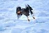 Steller's_Sea_Eagle_2019_In_Flight_Hokkaido_Japan_0096