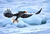 Steller's_Sea_Eagle_2019_In_Flight_Hokkaido_Japan_0104