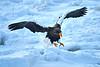 Steller's_Sea_Eagle_2019_In_Flight_Hokkaido_Japan_0093