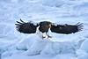 Steller's_Sea_Eagle_2019_In_Flight_Hokkaido_Japan_0110