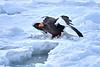 Steller's_Sea_Eagle_2019_In_Flight_Hokkaido_Japan_0095