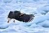 Steller's_Sea_Eagle_2019_In_Flight_Hokkaido_Japan_0103