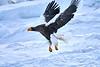 Steller's_Sea_Eagle_2019_In_Flight_Hokkaido_Japan_0108