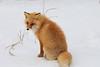 Red_Fox_2019_Hokkaido_Japan_0016