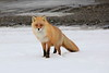 Red_Fox_2019_Hokkaido_Japan_0020