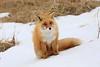 Red_Fox_2019_Hokkaido_Japan_0005