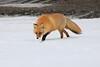 Red_Fox_2019_Hokkaido_Japan_0019