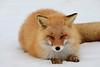 Red_Fox_2019_Hokkaido_Japan_0014