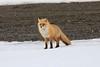 Red_Fox_2019_Hokkaido_Japan_0017