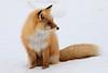 Red_Fox_2019_Hokkaido_Japan_0009