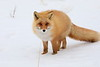 Red_Fox_2019_Hokkaido_Japan_0007