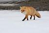 Red_Fox_2019_Hokkaido_Japan_0018