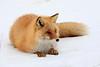 Red_Fox_2019_Hokkaido_Japan_0012