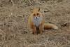 Red_Fox_2019_Hokkaido_Japan_0002