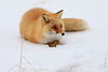 Red_Fox_2019_Hokkaido_Japan_0010