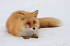 Red_Fox_2019_Hokkaido_Japan_0015