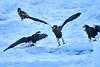 Steller's_Sea_Eagle_2019_Grouping_Hokkaido_Japan_0041