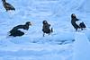 Steller's_Sea_Eagle_2019_Grouping_Hokkaido_Japan_0042