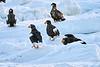 Steller's_Sea_Eagle_2019_Grouping_Hokkaido_Japan_0045