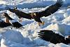 Steller's_Sea_Eagle_2019_Grouping_Hokkaido_Japan_0056