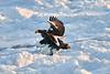 Steller's_Sea_Eagle_2019_Grouping_Hokkaido_Japan_0048