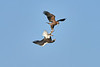 Steller's_Sea_Eagle_2019_Fighting_Hokkaido_Japan_0009
