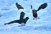 Steller's_Sea_Eagle_2019_Fighting_Hokkaido_Japan_0024