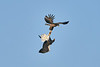 Steller's_Sea_Eagle_2019_Fighting_Hokkaido_Japan_0011