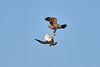Steller's_Sea_Eagle_2019_Fighting_Hokkaido_Japan_0008