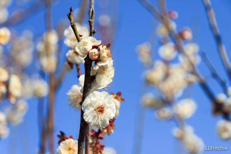 Plum blossoms against blue sky – what a treat!