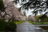 On a rainy, windy afternoon, Scott and I headed out for cherry blossom viewing in Bunkyo ward.