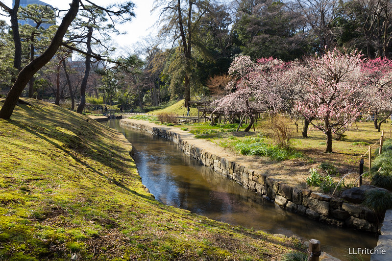 The whole grove at Koishikawa Korakuen was pink with plum blossoms.