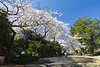 The white cherry blossoms were at their joyous peak!