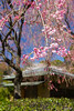 Long branches filled with pink blossoms hung over the road by the tea house.