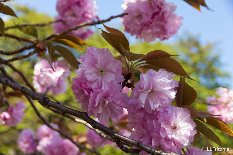 After the petals of the regular cherry blossoms have fallen, the double-cherry blossoms appear.