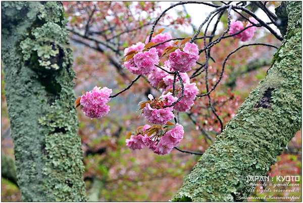 Blossoming at Arashiyama park