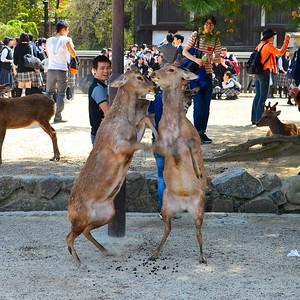 Nara - Deers