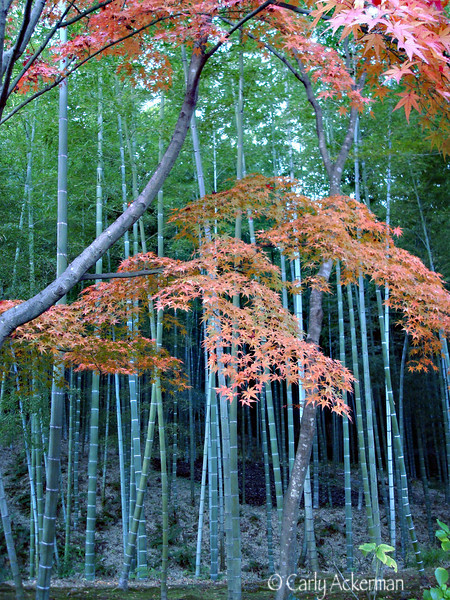 Bamboo and Maple