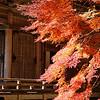 Glorious Maples
