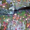Fallen Maples