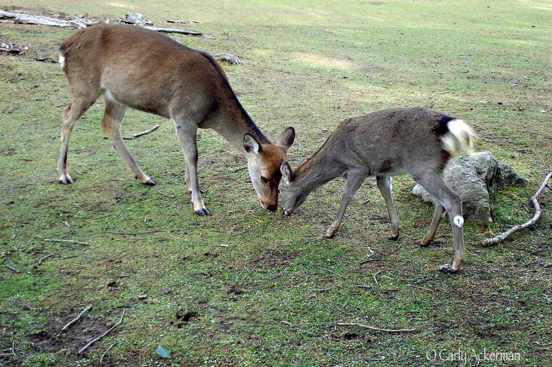 Deer at Nara