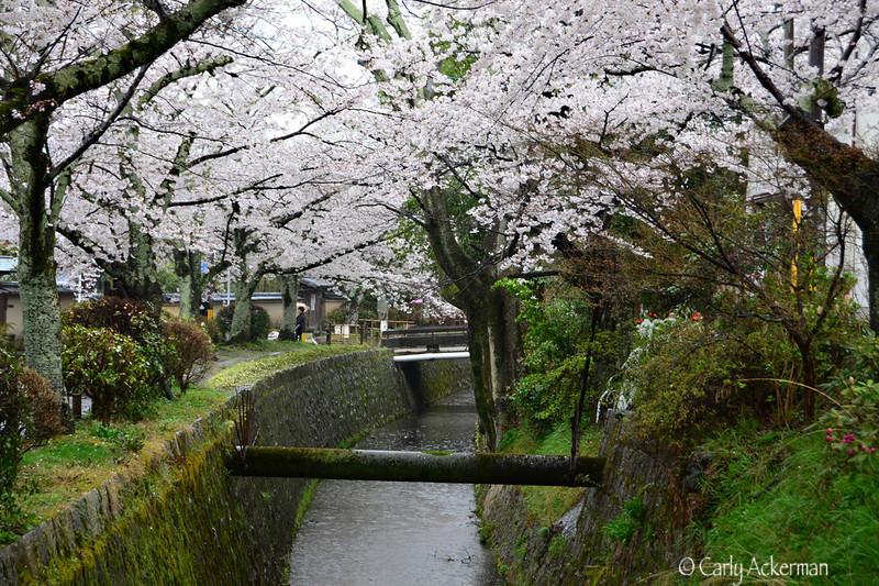 Sakura at the Philosopher's Path