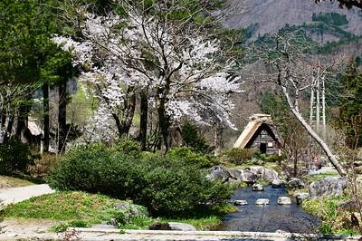 Shirokawago during sakura season