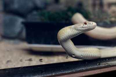 Rare albino snake believed to bring good fortune