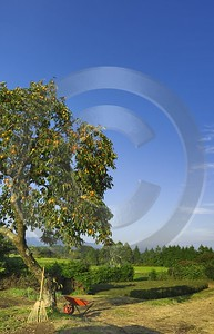 Gotemba Kaki Tree Japanese Country Side In Autumn Rain Stock Images Photography Prints For Sale - 016492 - 18-10-2008 - 4170x6481 Pixel